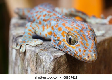 Cute Baby Tokay gecko, Gekko gecko froze at the sight of people sitting in a tree on background tropical nature at sunny summer day