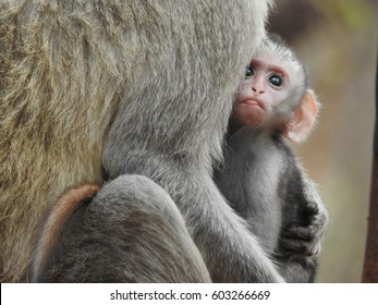Cute baby vervet monkey