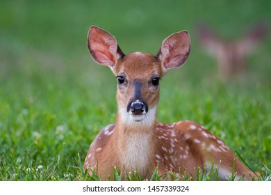Cute baby white-tailed deer fawn bedded in a green meadow in summer.