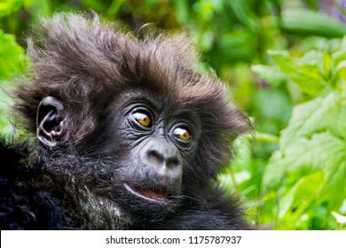 Cute baby of wild Mountain gorilla in Volcanoes National Park, Rwanda, close up, soft focuse