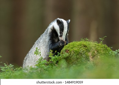 cute badger searching for food in bilberry deep in the forest