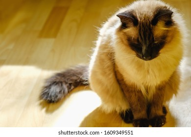 Cute Balinese cat sitting comfortable in the afternoon sunlight that leaks into the living room. Feline sunbathing indoors with copy space