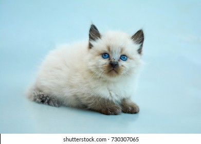 Balinese Cat Images Stock Photos Vectors Shutterstock