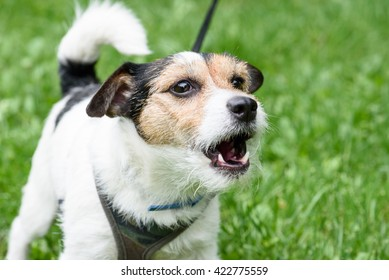 Cute barking dog not aggressive on leash