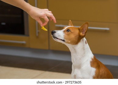 Cute basenji dog thinks about eat or not to eat lemon, this strange human food