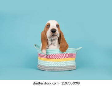 Cute basset hound puppy in a colorful basket on a blue background
