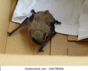 Cute bat Pipistrellus kuhlii  warms up after a 4-month wintering in the fridge. Love animals concept.