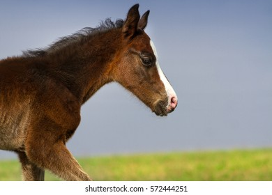 Cute bay colt portrait outdoor