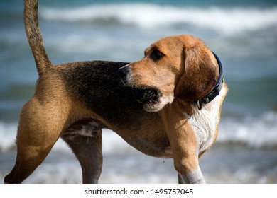 Cute Beagle at the beach chasing a ball. Beagle dog with a ball in mouth at blurry background of beach, summertime. Playing with pets. Close up portrait view of doggy or canine beagle in Spain, 2019.