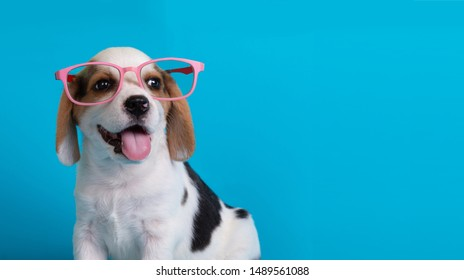 Cute of beagle clever puppy with pink large glasses,isolated on blue background.