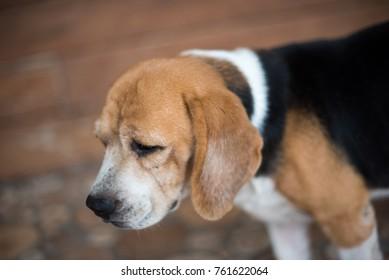 Cute beagle dog face
