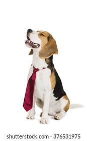 cute beagle dog isolated on white background