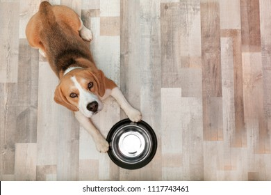 Cute Beagle dog lying on floor near bowl, top view
