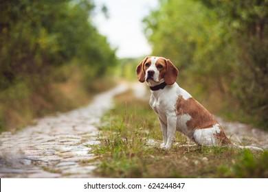 A Cute Beagle Dog In The Nature