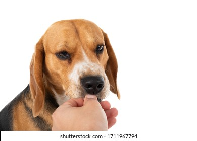 Cute beagle dog on isolated background holding owners hand