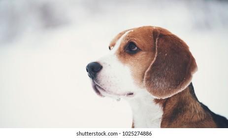 cute beagle dog outdoor portrait in winter