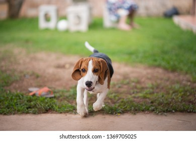 cute beagle dog running in the house