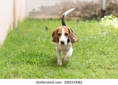 Cute beagle dog running on the grass