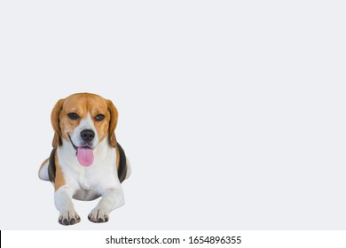 Cute beagle dog show his tongue isolate on white background and clipping path.