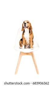 cute beagle dog sitting on chair, isolated on white