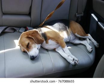 süßer Adlerhund schlafen im Auto