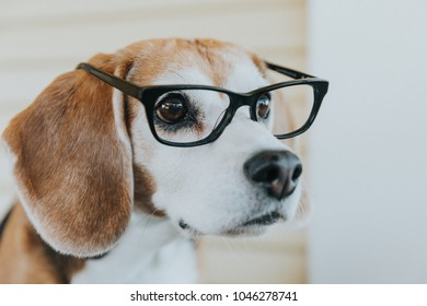 cute beagle dog wearing glasses