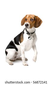 cute beagle hound sitting with the paw raised up, isolated on a white background