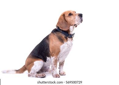 Cute beagle isolated on white background