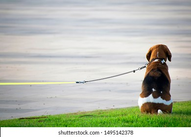 Cute Beagle leashed waits to his owner. Beagle dog with seated in park over grass.  Close up portrait of one beagle. Dogs as friendly pets. Leashed beagle back waiting owner in Spain, 2019.