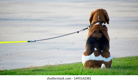 Cute Beagle leashed waits to his owner. Beagle dog with seated in park over grass.  Close up portrait of one beagle. Dogs as friendly pets. Leashed beagles back waiting owner in Spain, 2019.