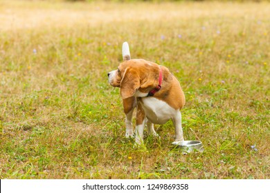 Cute Beagle playing on the grass in summer