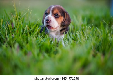 A cute beagle puppy 1 month lying on the green grass field.