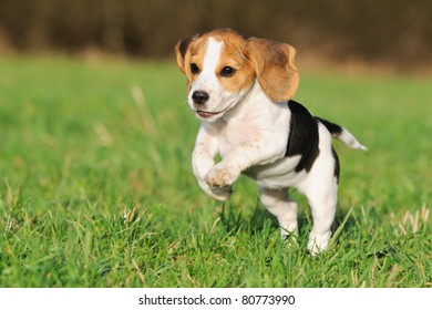Popular Sea Beagle Adorable Dog - cute-beagle-puppy-3-months-260nw-80773990  Pictures_93934  .jpg