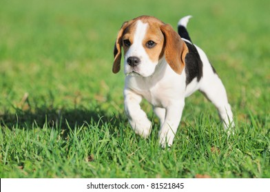 cute Beagle puppy 3 months observed  the mouse