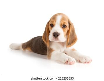 Cute Beagle Puppy (5 week old)