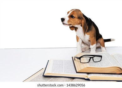 Cute beagle puppy with a book and glasses.