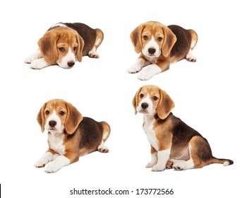 Cute beagle puppy in diverse poses