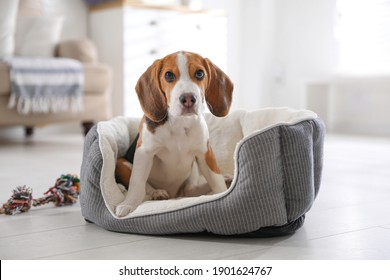 Cute Beagle puppy in dog bed at home. Adorable pet