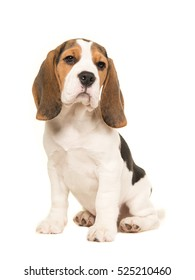 Cute beagle puppy dog sitting on a white background