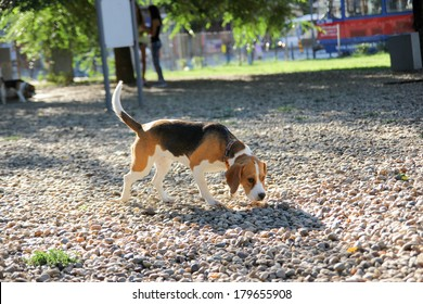 cute beagle puppy dog sniffing in sunny park