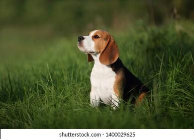 Cute beagle puppy in the grass