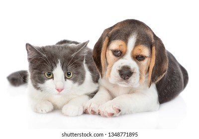 Cute beagle puppy and kitten lying together. isolated on white background