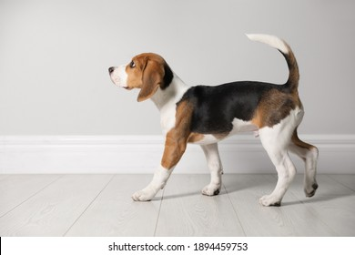 Cute Beagle puppy near light wall indoors. Adorable pet