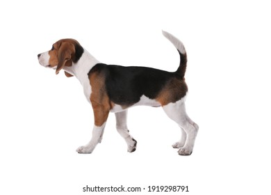 Cute Beagle puppy on white background. Adorable pet