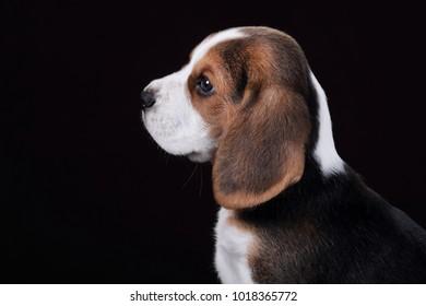 Cute beagle puppy, portrait