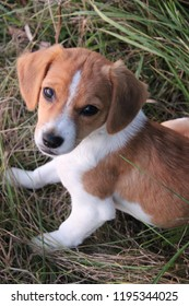 Cute beagle puppy sitting in the hay