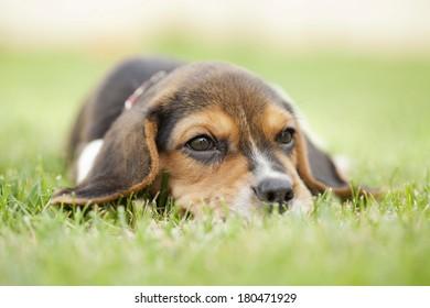 cute Beagle puppy sitting on green grass