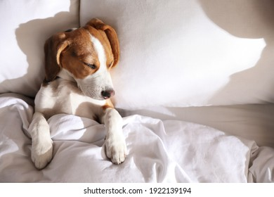 Cute Beagle puppy sleeping in bed, top view. Adorable pet