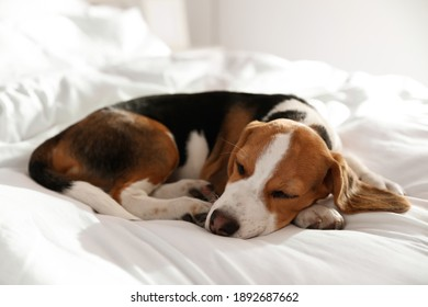 Cute Beagle puppy sleeping on bed. Adorable pet