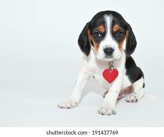 Cute Beagle puppy wearing a collar and a heart shaped tag sitting on a white background with copy space.